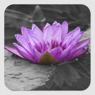 Purple Water Lily 002 Black and White Background Square Sticker