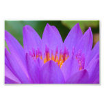 Purple Water Lily Flower Blossom Photo Print