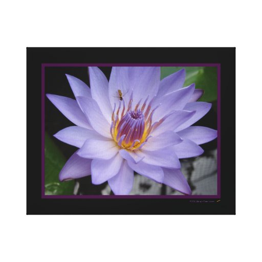 Purple Water Lily With Bee Wrapped Canvas Print