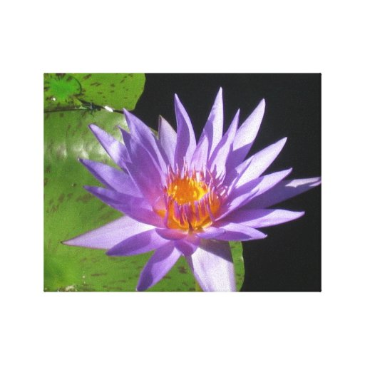 Purple water lily with natures sun canvas print
