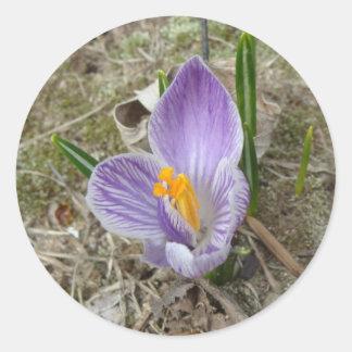 Purple & White Crocus Bloom Classic Round Sticker