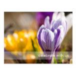 Purple & White Crocuses DSC0697 Postcards