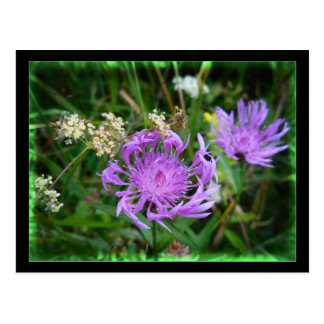 Purple Wildflowers in Swiss Field Centaurea Postcard