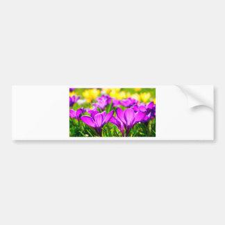 Purple & Yellow Crocus flowers Bumper Sticker