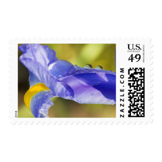 Purple Yellow Iris Petal Dewdrops Postage Stamp