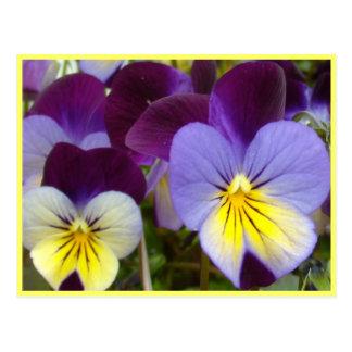 Purple Yellow Violas Postcard