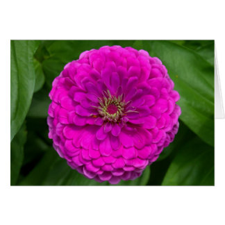 Purple Zinnia Card