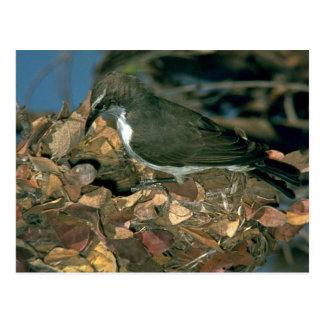 Purplebacked Sunbird Postales