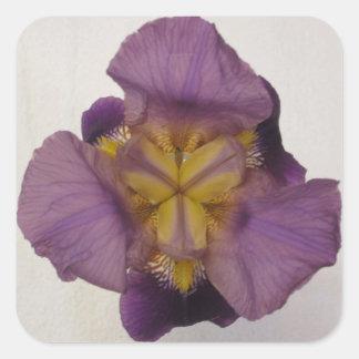 Púrpura barbuda del iris pegatina cuadrada