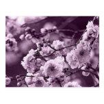 Púrpura de la cereza tarjetas postales
