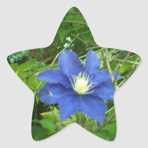 púrpura de la flor del clematis colcomanias forma de estrellaes personalizadas