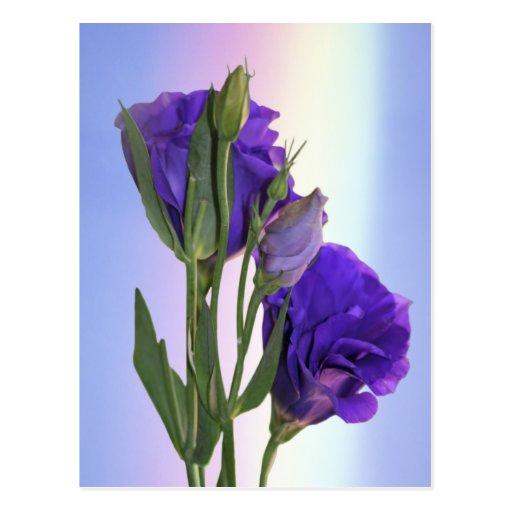 Púrpura de Lissianthus del Eustoma Tarjetas Postales