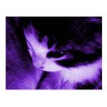 Púrpura del contraste del gatito tarjeta postal