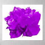 Púrpura del estallido de Camelia Poster