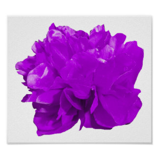 Púrpura del estallido de Camelia Póster