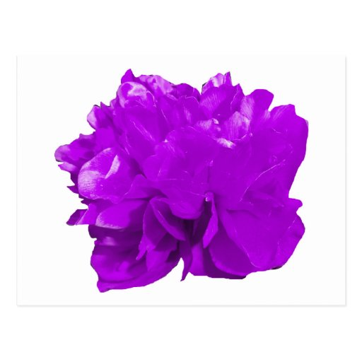 Púrpura del estallido de Camelia Tarjetas Postales