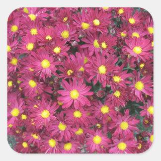 Púrpura del jardín del racimo del crisantemo pegatina cuadrada