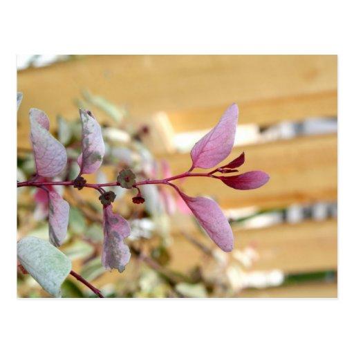 púrpura del rosa de la planta del moutain de la ni postal