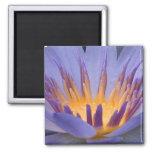 Púrpura y flor del oro - imán