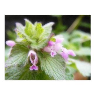 Purpureum del Lamium - Deadnettle púrpura Postal