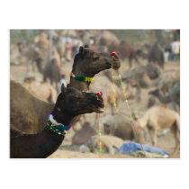 Pushkar Camel Fair, Pushkar, Rajasthan, India Postcard