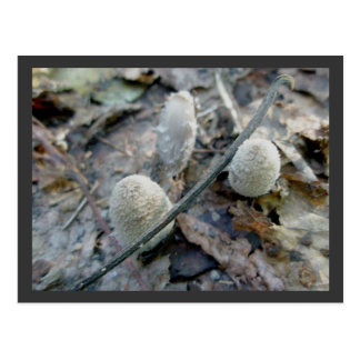 Pussy Willow Mushroom Postcard