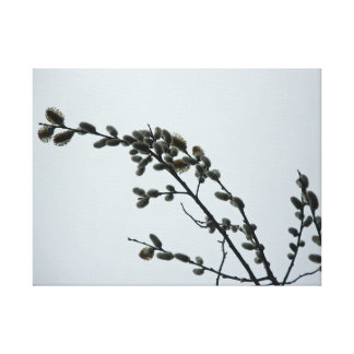 Pussywillow Catkins on Gray Spring Sky Canvas Print