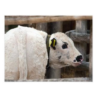 Pustertal Pied Calf Photo Print