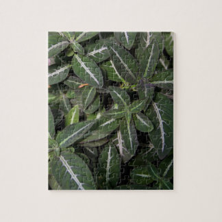 Puzzle - Trailing Velvet Plant