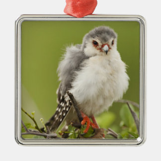 Pygmy Falcon preening itself in a tree Metal Ornament