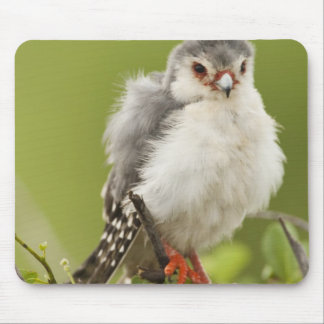 Pygmy Falcon preening itself in a tree Mouse Pad