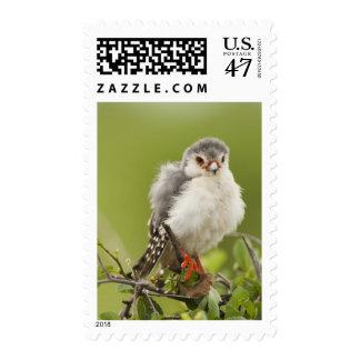 Pygmy Falcon preening itself in a tree Postage