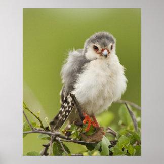 Pygmy Falcon preening itself in a tree Poster