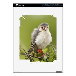 Pygmy Falcon preening itself in a tree Skin For iPad 3