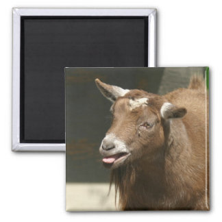 pygmy goat 2 inch square magnet