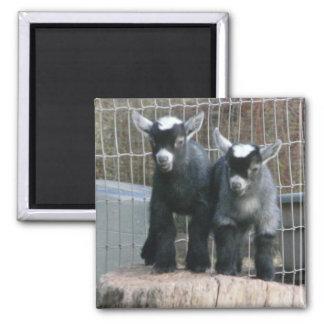 Pygmy Goat Babies Magnet