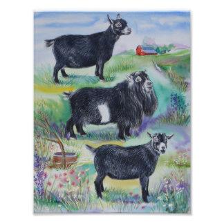 Pygmy Goat Doe, Buck & Wether Champions 2013 Photo Print