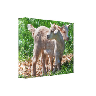 Pygmy Goat Kids Wrapped Canvas