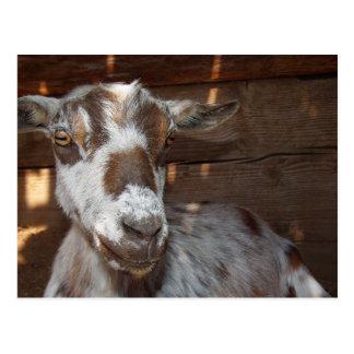 Pygmy Goat Postcard