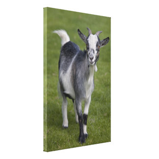Pygmy Goat Wrapped Canvas Print