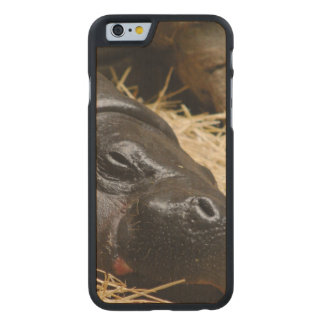 pygmy-hippo-5 carved® maple iPhone 6 slim case