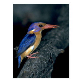 Pygmy Kingfisher Post Card