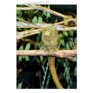 Pygmy_Marmoset,_ Card
