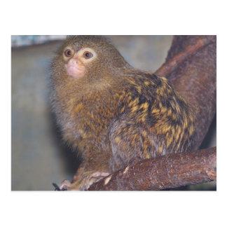 Pygmy Marmoset Portrait Postcard
