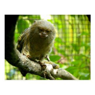 Pygmy Marmoset Post Card