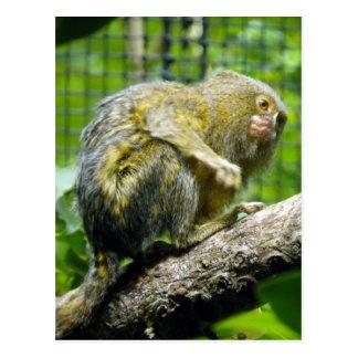 Pygmy Marmoset Postcard