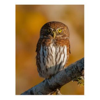 Pygmy Owl against fall colors Postcard