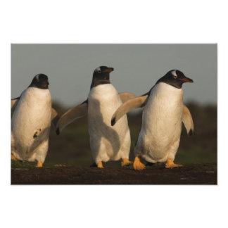 Pygoscelis Papua de los pingüinos de Gentoo) en el Fotografía