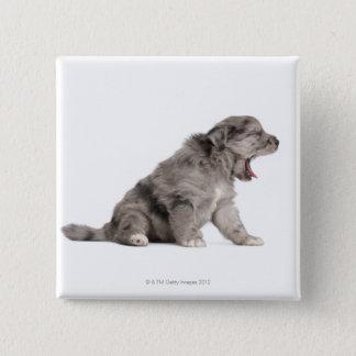 Pyrenean Shepherd puppy (4 weeks) yawning Button
