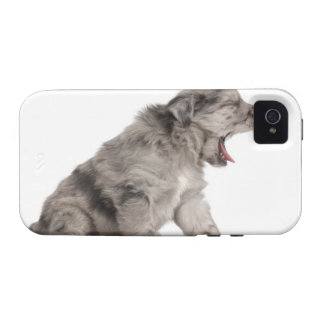 Pyrenean Shepherd puppy (4 weeks) yawning iPhone 4/4S Covers